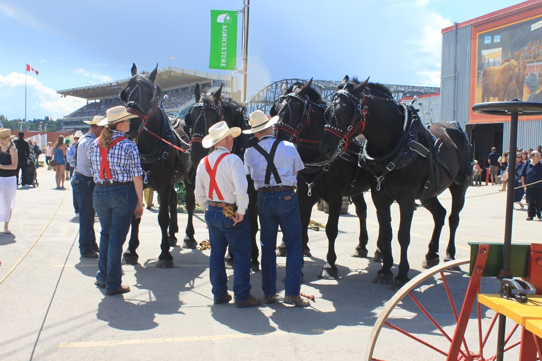 Heavy horses at the Calgary Stampede (Photo: Shelagh McHugh Cherak)