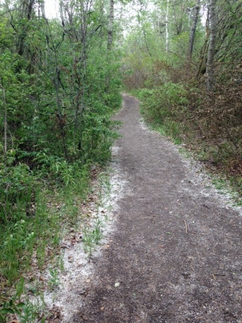 Cottonwood snow in North Glenmore Park, early June  (Photo: Shaun Hunter)