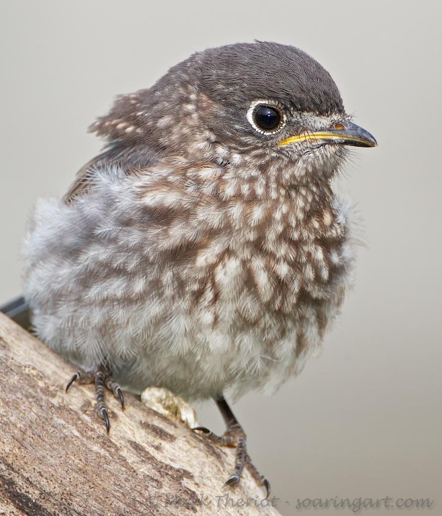Just a Baby!%0D%0AJuvenile Eastern Bluebird.jpg