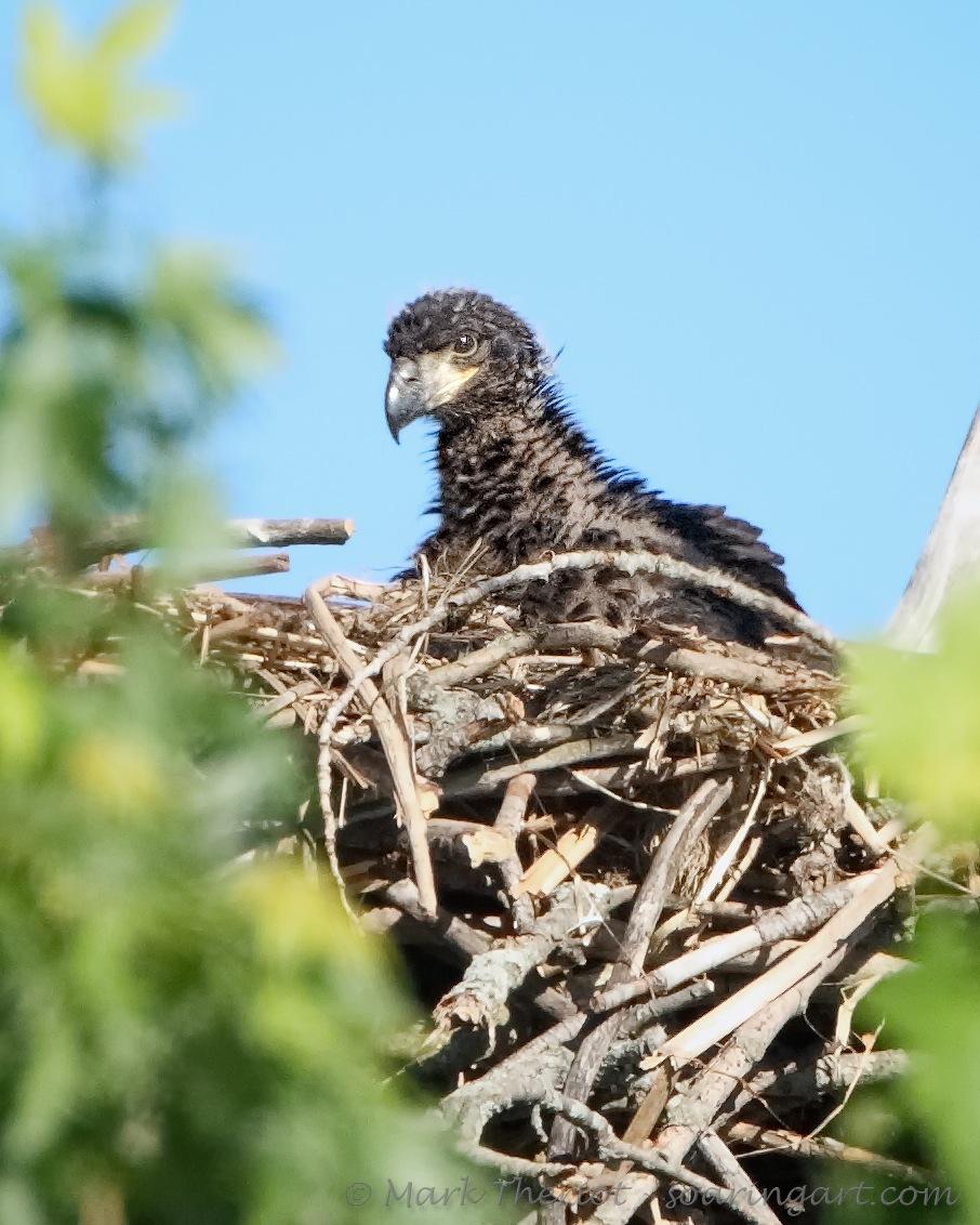 Bald Eagle - Eaglet