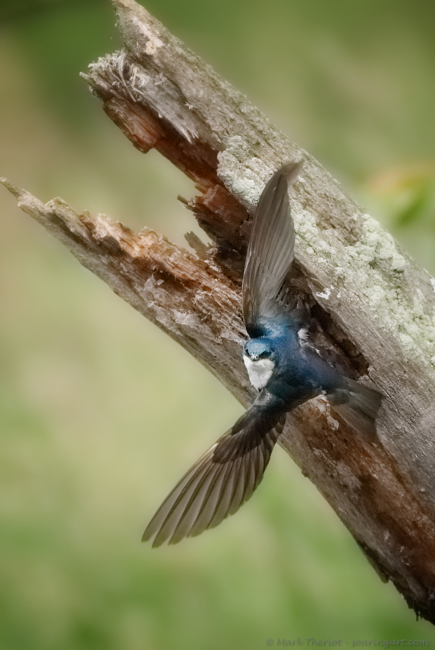 Tree Swallow leaving nest