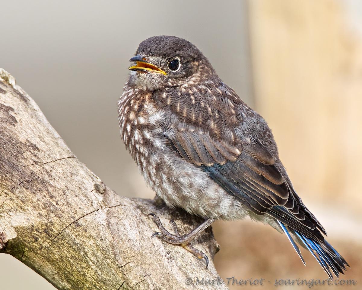 Eastern Bluebird - Juvenile