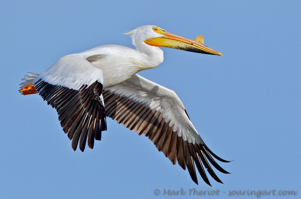 White Pelican - Breeding Plumage