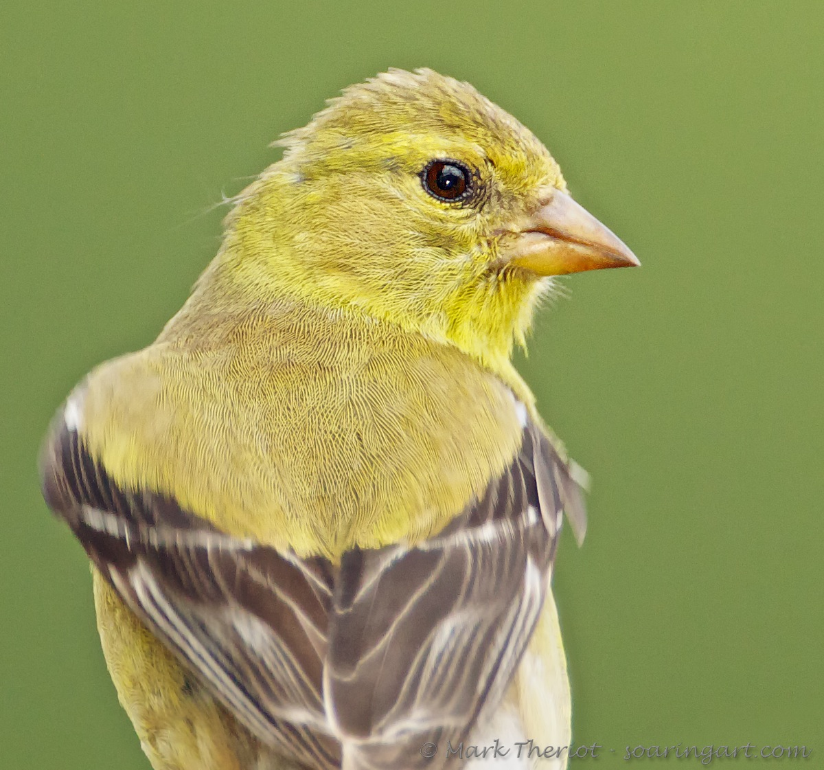 Goldfinch - Female