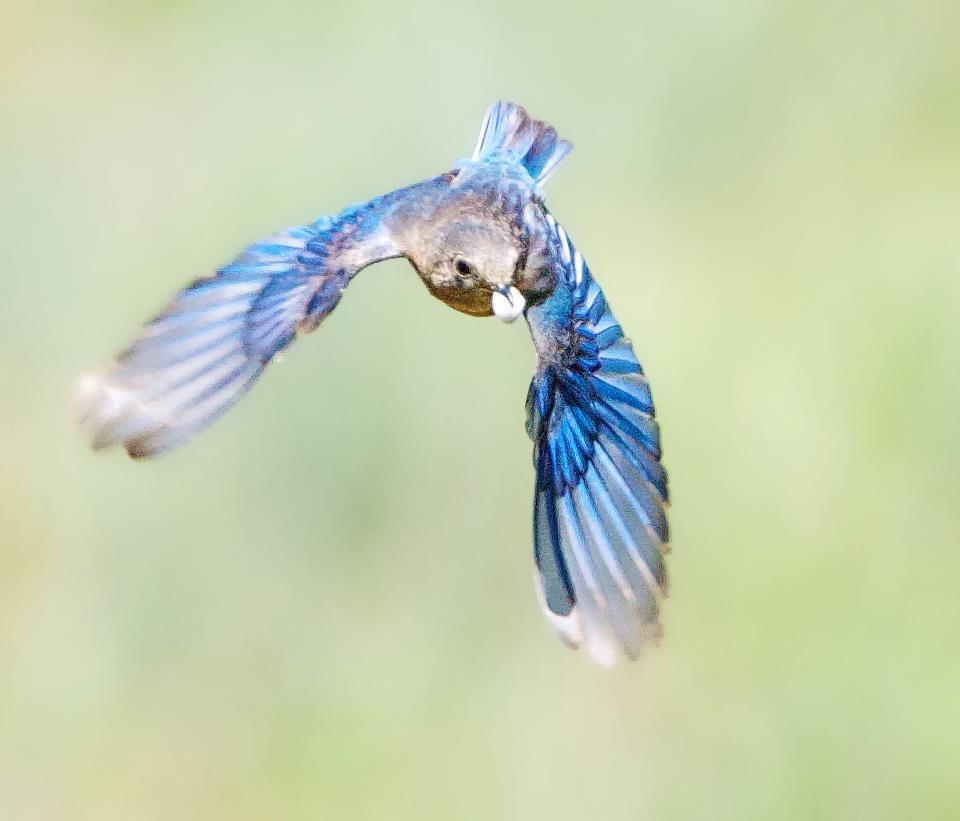 Eastern Bluebird - Female with fecal sack
