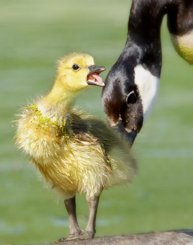 Canada Goose - Adult and Chick