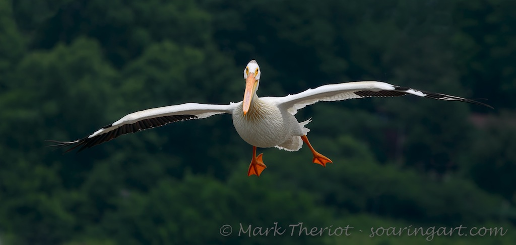 Theriot-White_Pelican_Flight_03.jpg