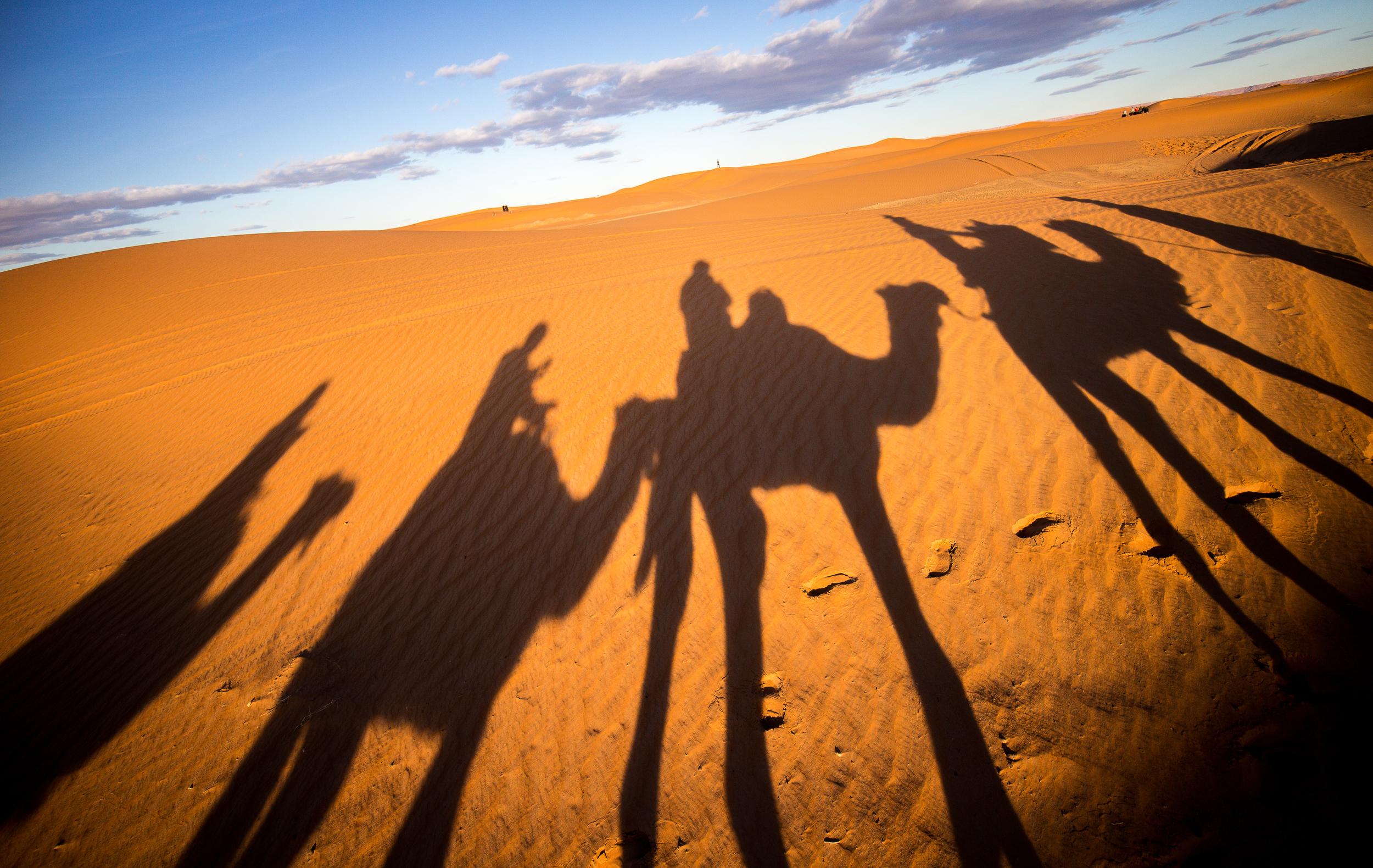 Saharan Dromedaries