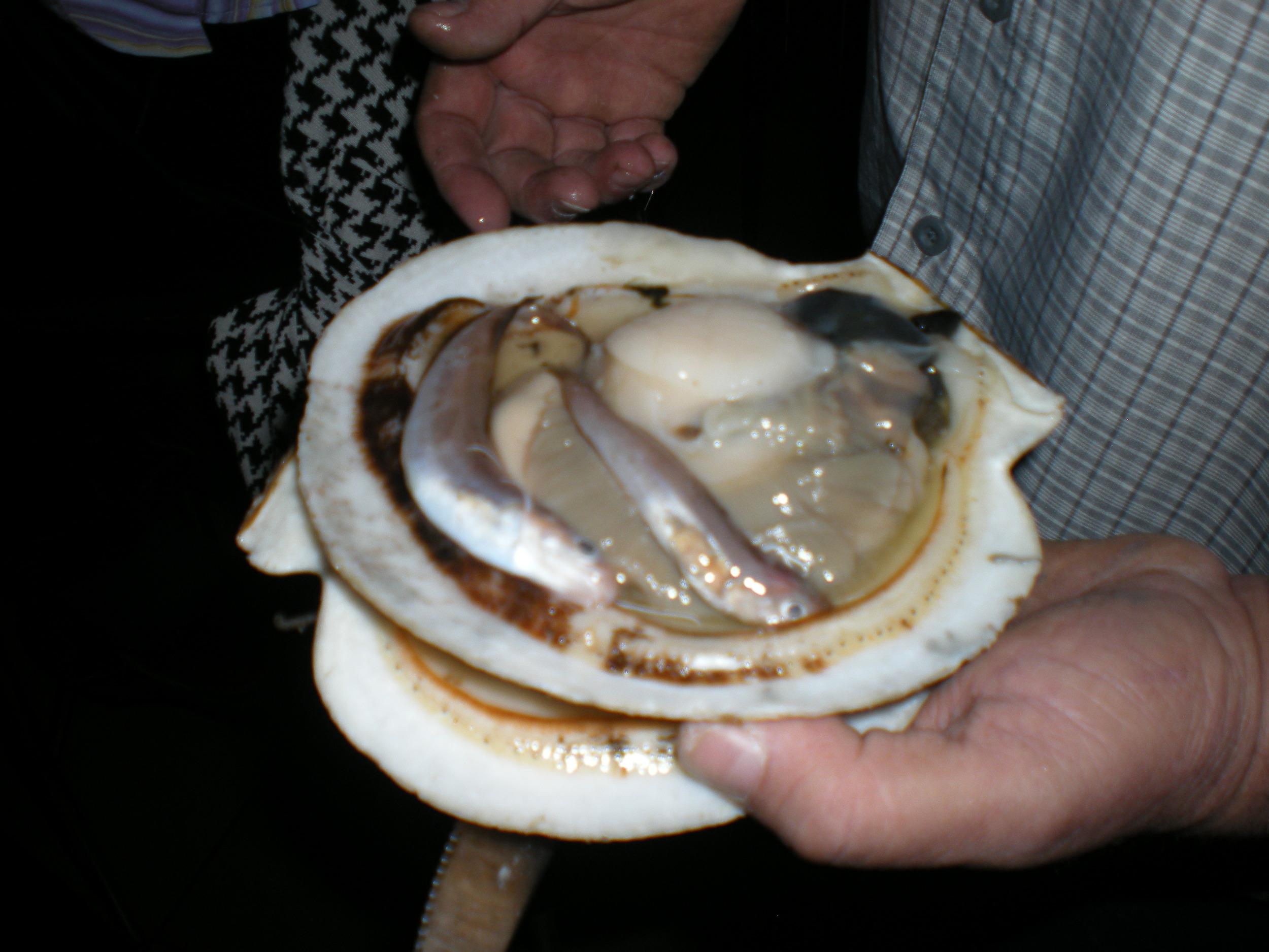 Juvenile red hake inside live sea scallops