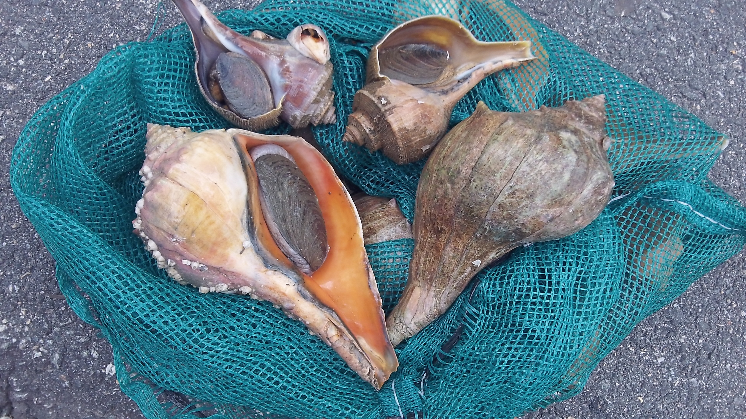 Conchs harvested by Dan and Katie Eagan of Bristol