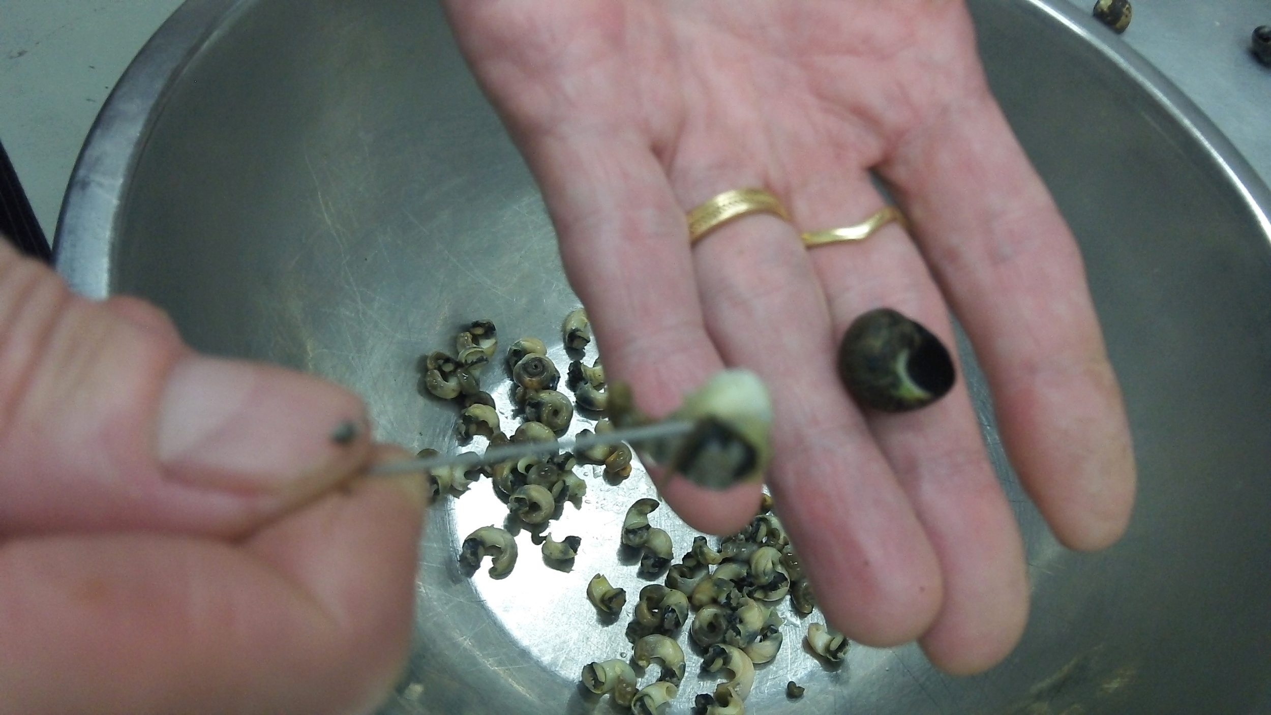 Removing periwinkles from their shells