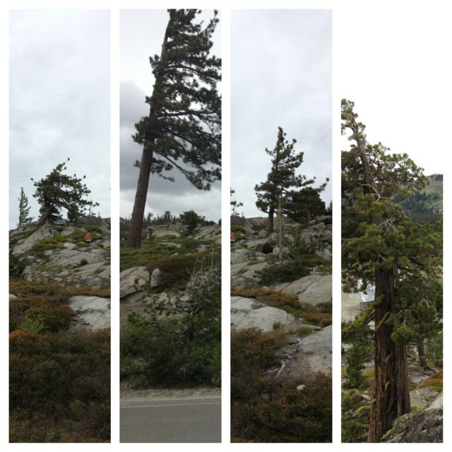 Tahoe trees