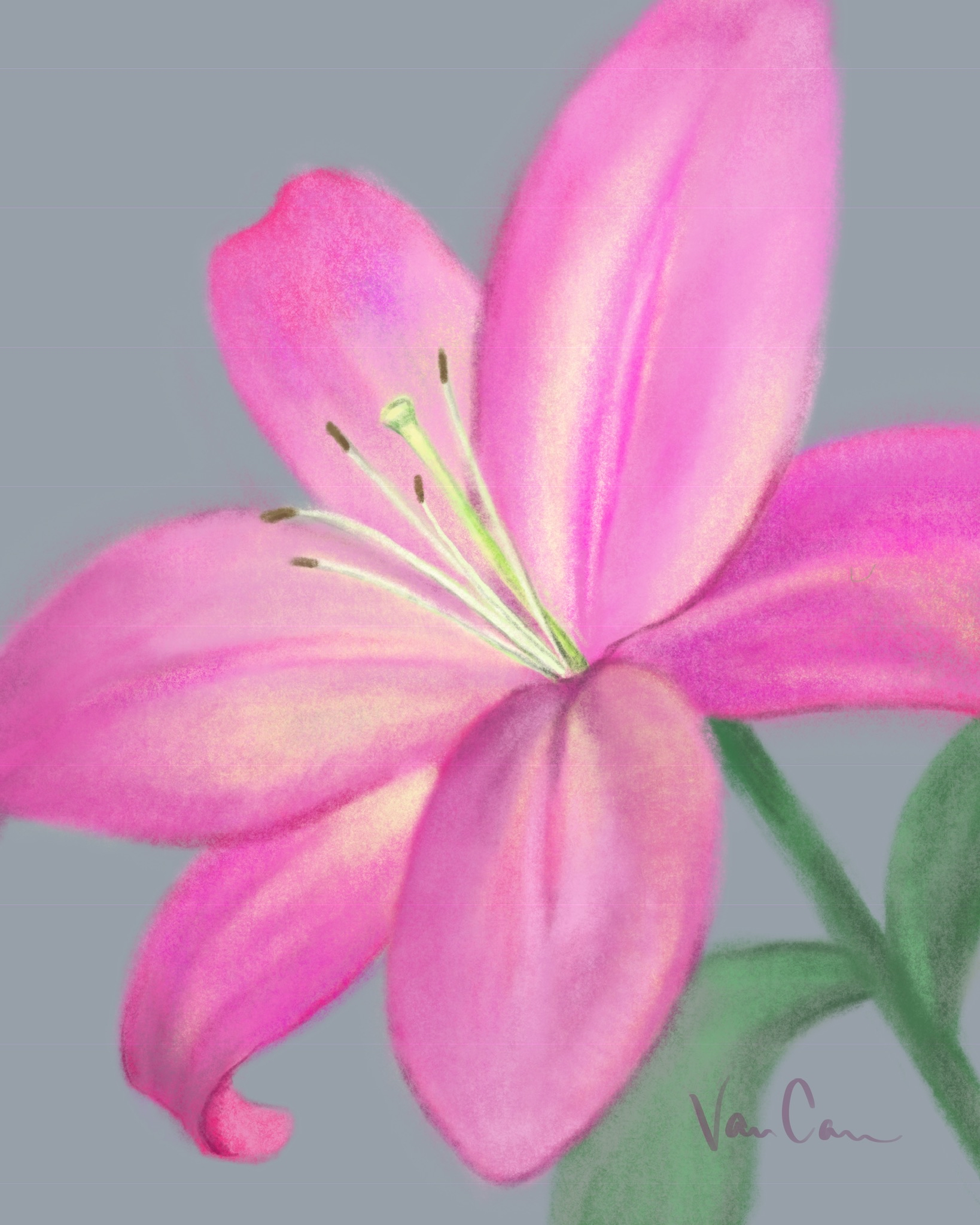 Bright Pink Lily on Gray Background