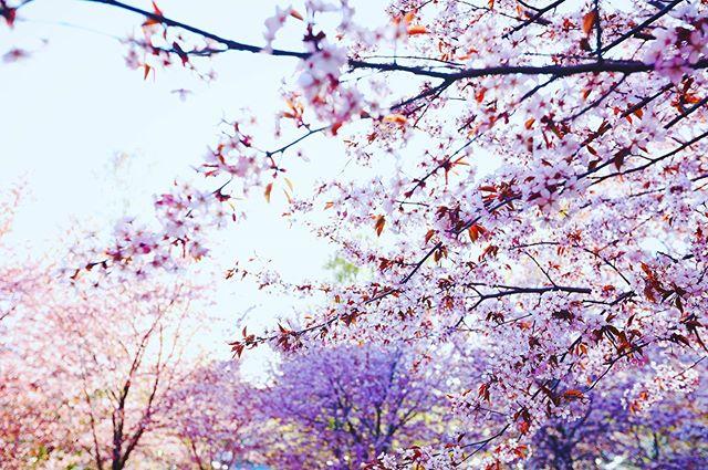 🍒🍒🍒 olin ekaa kertaa Roihuvuoren kirsikkapuistossa ja oli kyllä kaunista. #roihuvuori #kirsikkapuisto #helsinki #visitfinland #nellipaivalainenphotography #valokuvaus #valokuvaaja #valokuvaajahelsinki #lapsikuvaus #perhekuvaus #vauvakuvaus #potrettikuvaus #tuotekuvaus #boudoirkuvaus #polttarikuvaus #tapahtumakuvaus #henkilöstökuvaus #lemmikkikuvaus #hääkuvaus #hääkuvaushelsinki #ylioppilaskuvaus #luontokuvaus #miljöökuvaus #photographer #photographerhelsinki #canon #canonphotography #kihlajaiskuvaus
