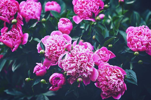 Pionit💕 #saaremaa #metsarabb #visitsaaremaa #pion #summer #vibes #kesätulee #nellipaivalainenphotography #valokuvaaja #valokuvaajahelsinki #lapsikuvaus #perhekuvaus #vauvakuvaus #potrettikuvaus #tuotekuvaus #ruokakuvaus #boudoirkuvaus #polttarikuvaus #tapahtumakuvaus #lemmikkikuvaus #profiilikuva #hääkuvaus #hääkuvaushelsinki #ylioppilaskuvaus #luontokuvaus #photographerhelsinki #canon #canonphotography #kihlajaiskuvaus
