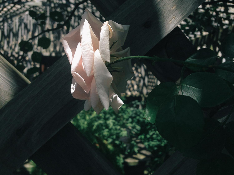 henryford_rose-0546.jpg
