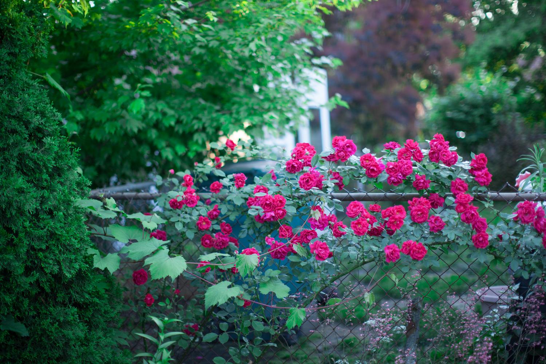 dearborn_redroses-4767.jpg
