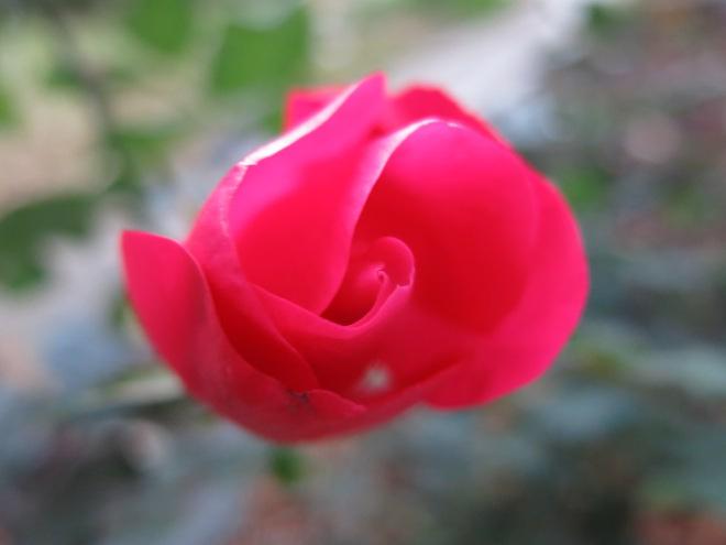 RoseStillStanding
