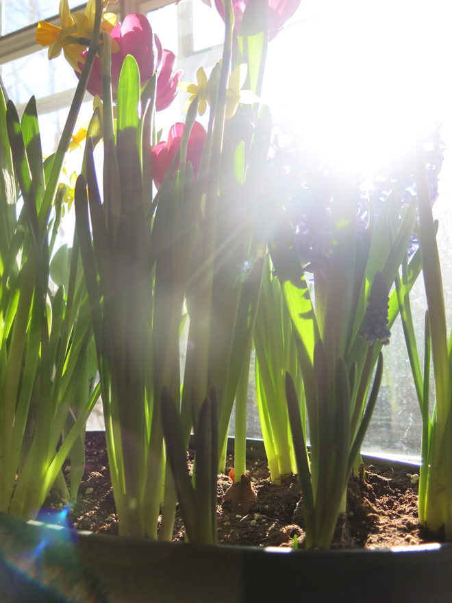 Frontenac Spring Bulbs