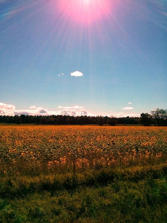 SurpriseSunflowers