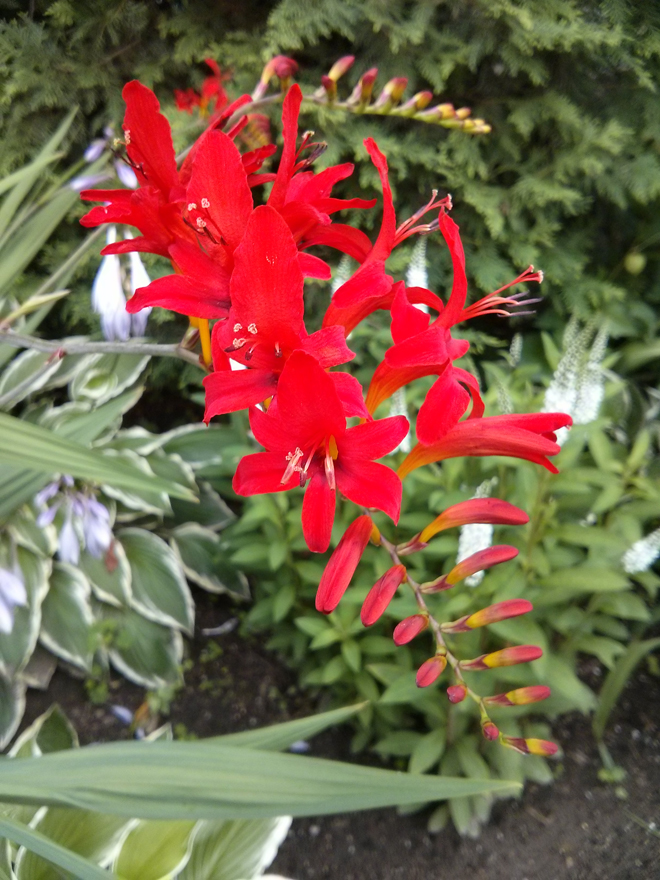 Each year I am floored by these scarlet flowers in the garden. They are a sight to behold.  Crocosmia, Lucifer .
