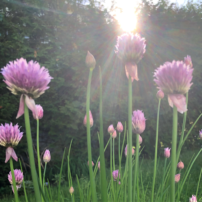 Chives in bloom, pretty in pink. My garden makes me happy.