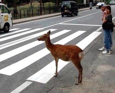 deer-crossing-jpg