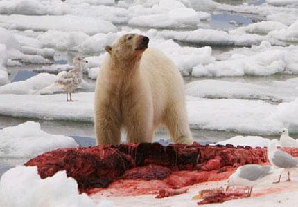 polar-bear-jpg