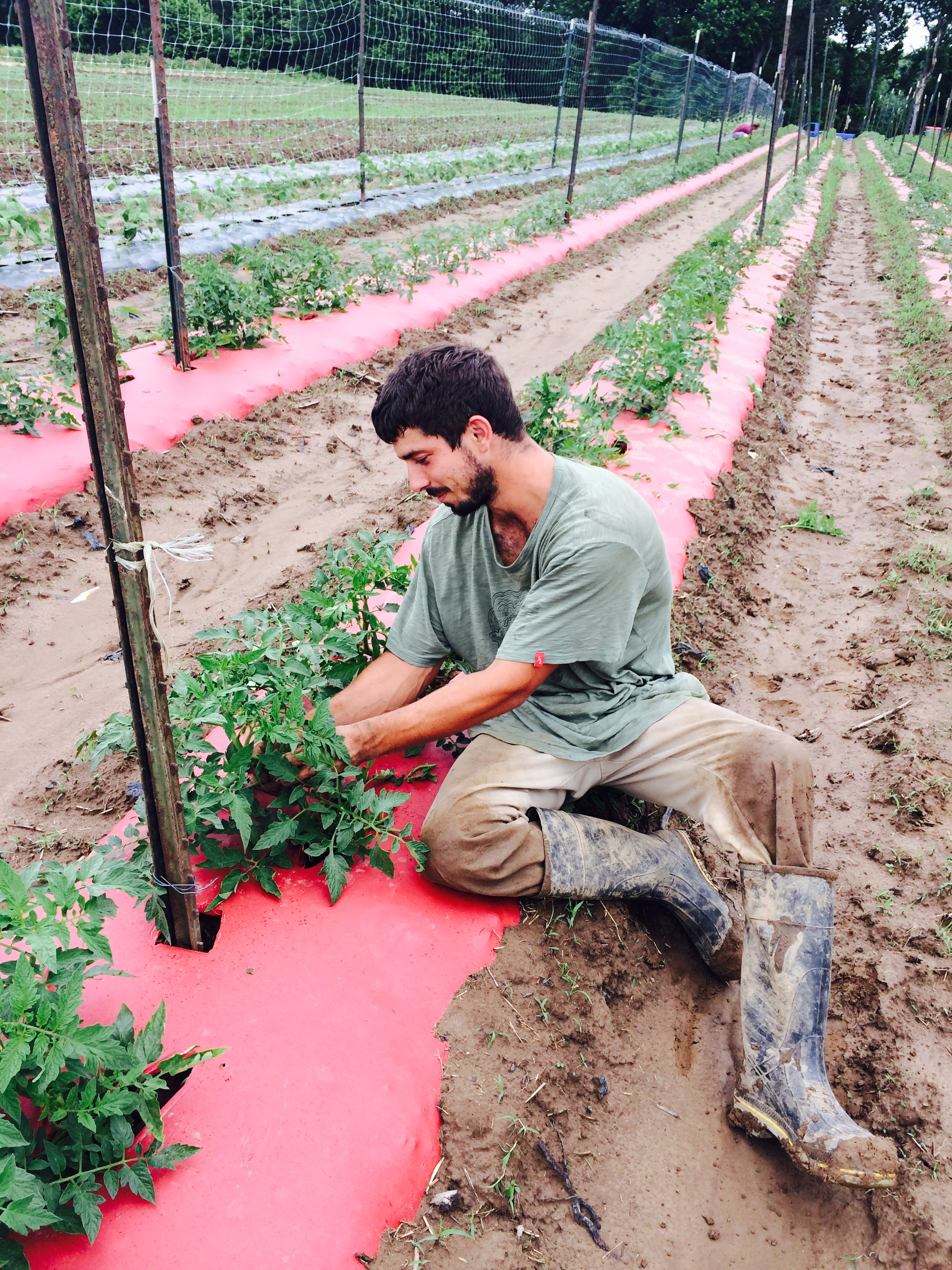 Ryan Johnson, our farm manager, pruning tomato plants to ensure the tastiest outcome!