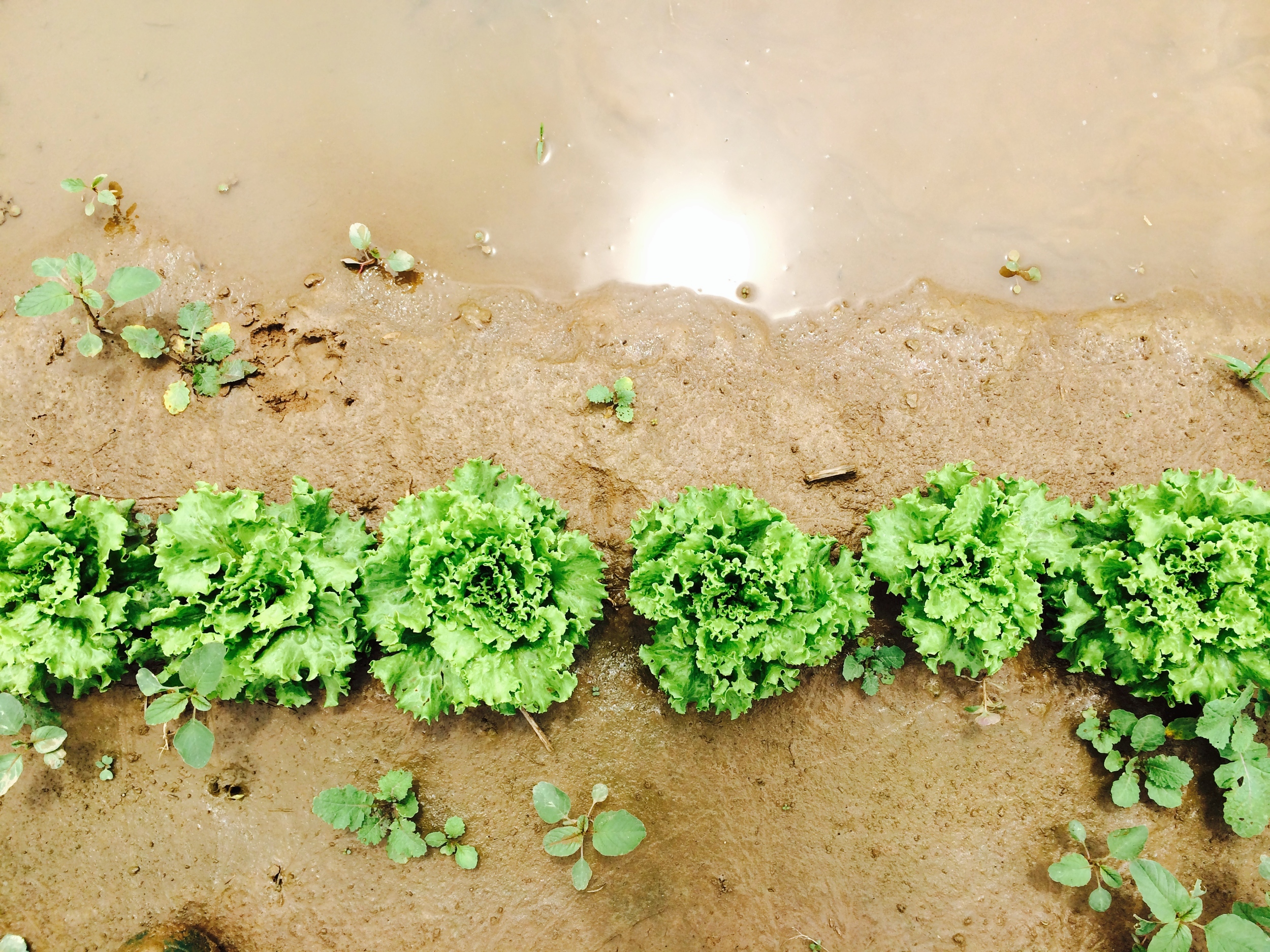 Our muddy lettuce patch.