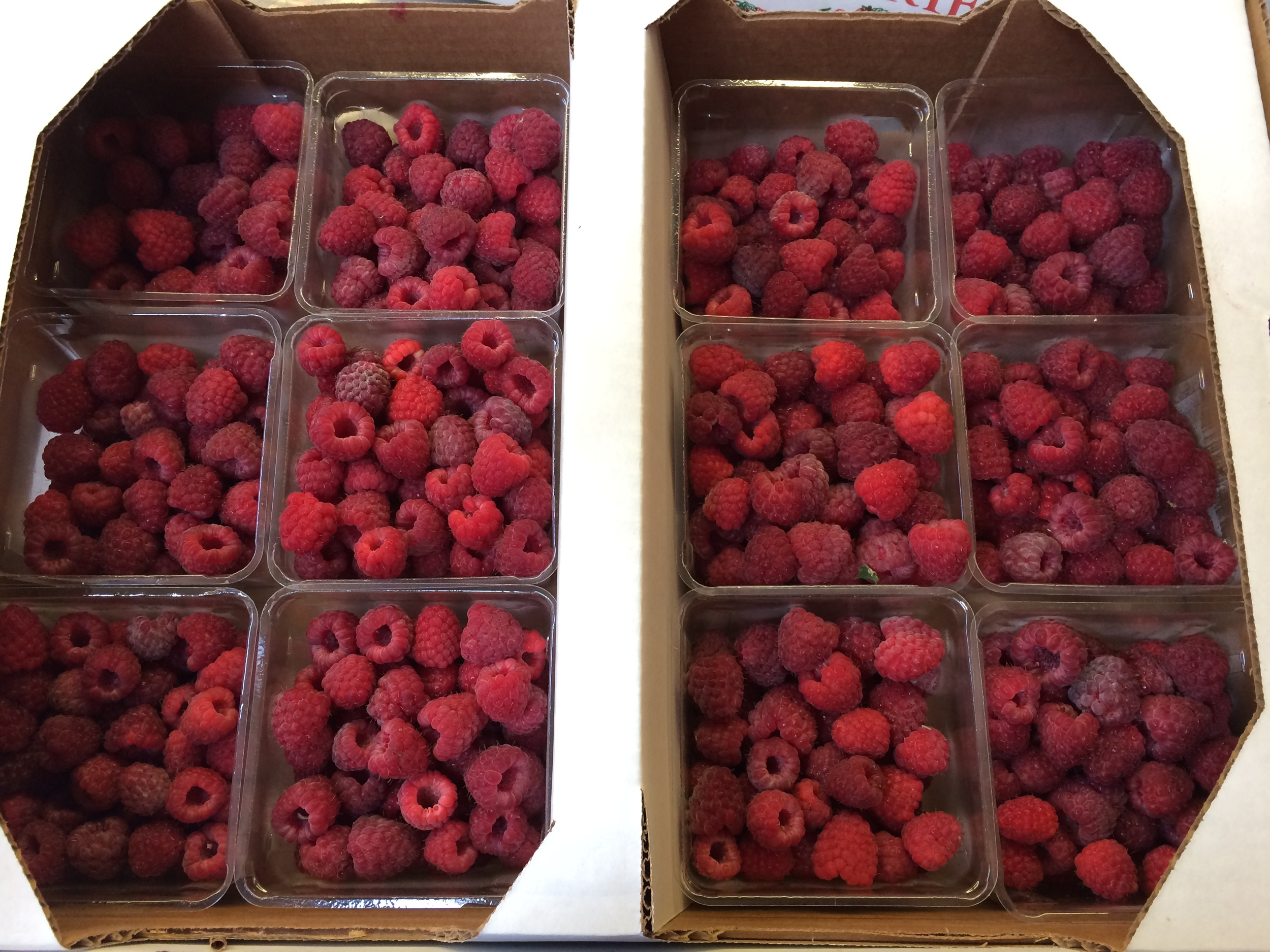 Unbelievably delicious red raspberries, freshly picked from the fields