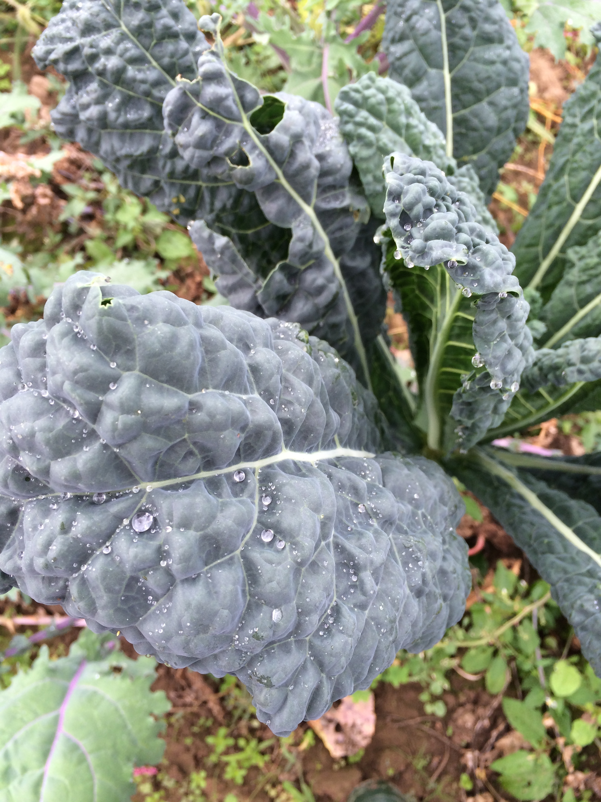 Tuscano kale, waiting to be picked by our crew