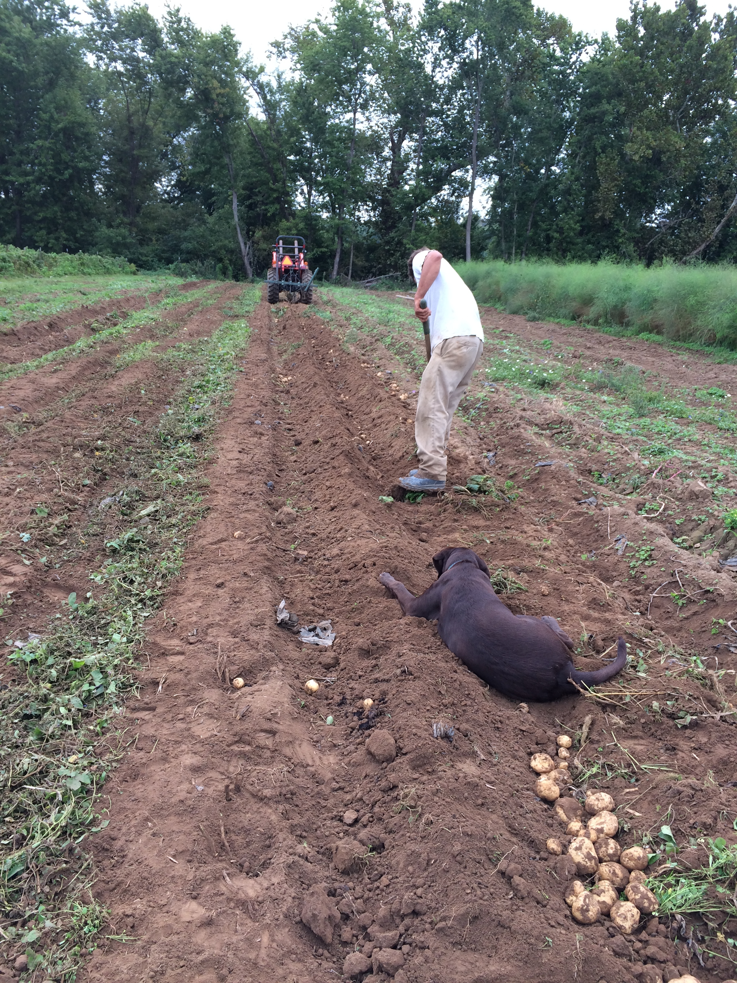 Ryan, working hard to harvest potatoes, while Irwin, his beloved pup, waits patiently to play