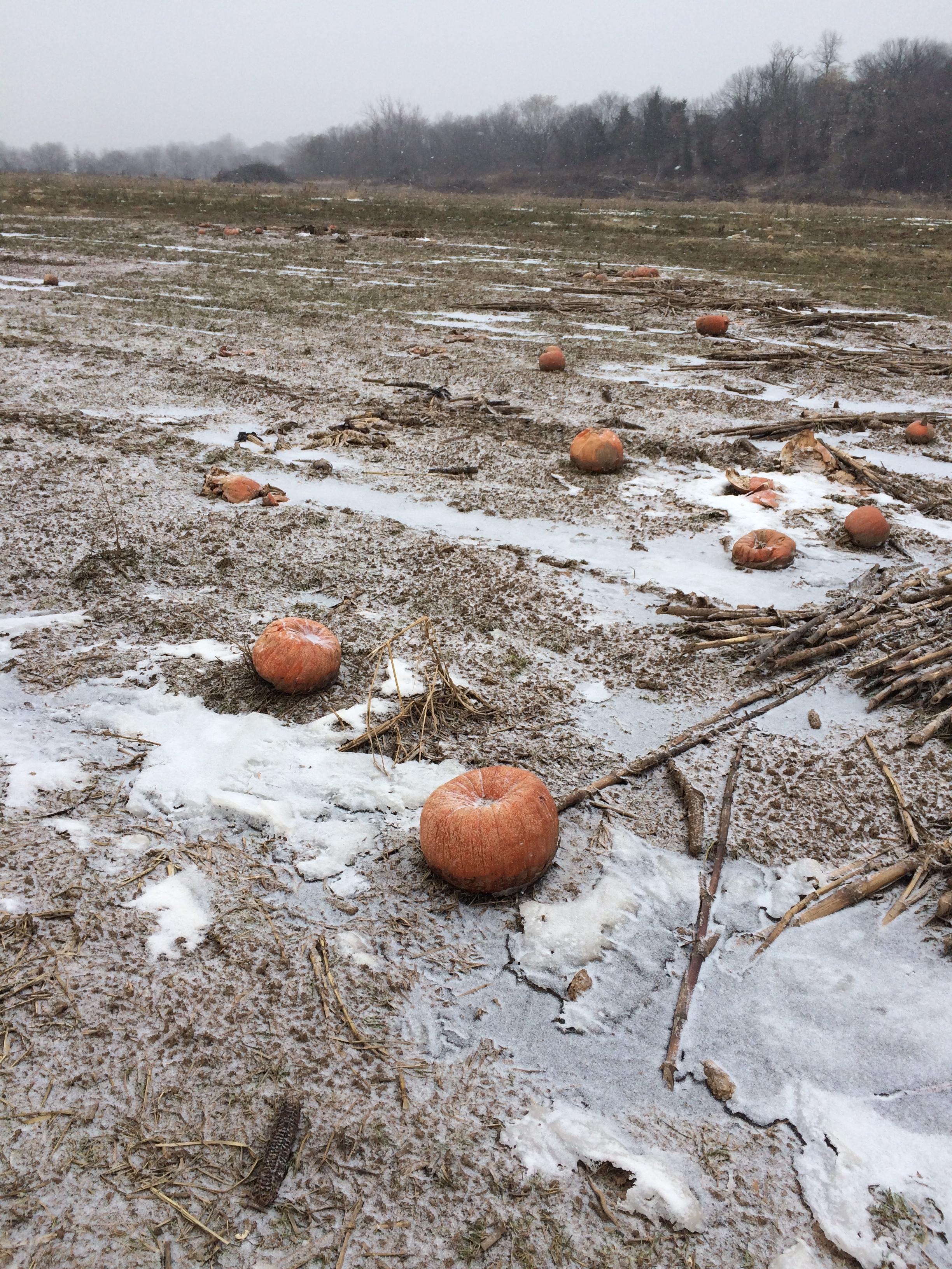 A few rotten pumpkins, fertilizing the fields for next year