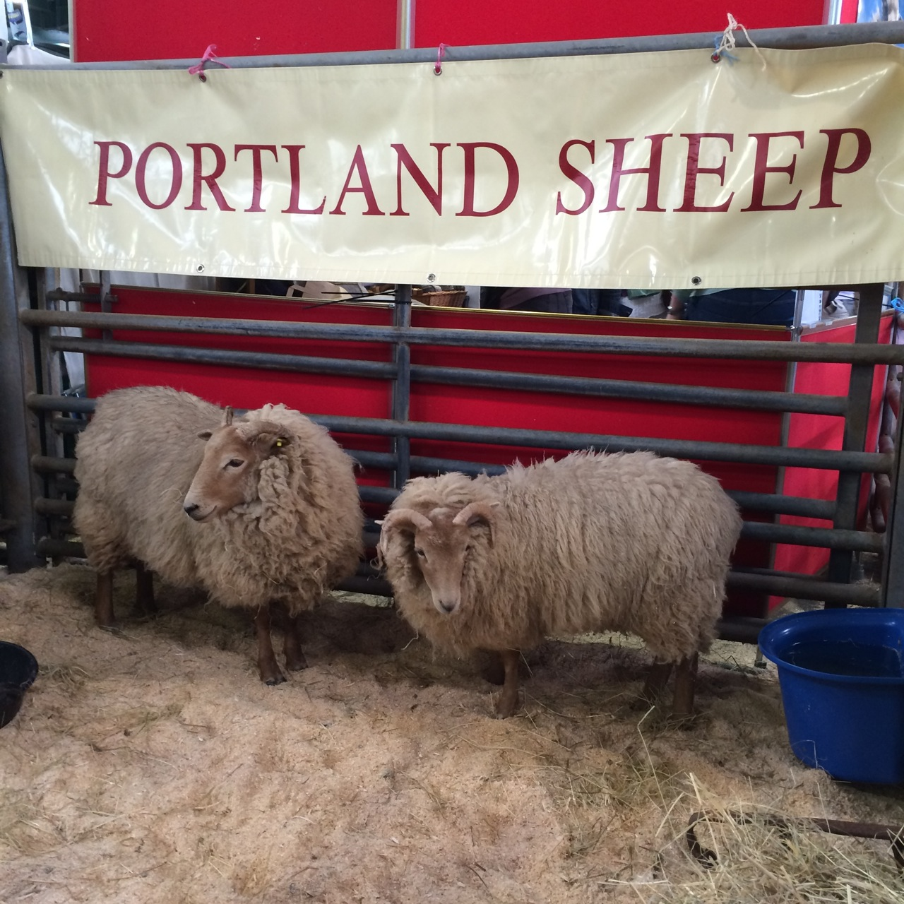 I think I take a picture of sheep or alpaca at almost every show I go to!