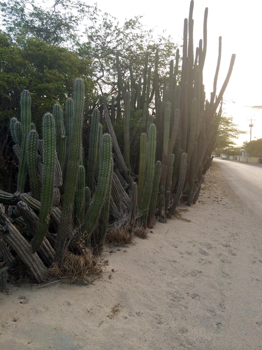 Loads of Cacti everywhere