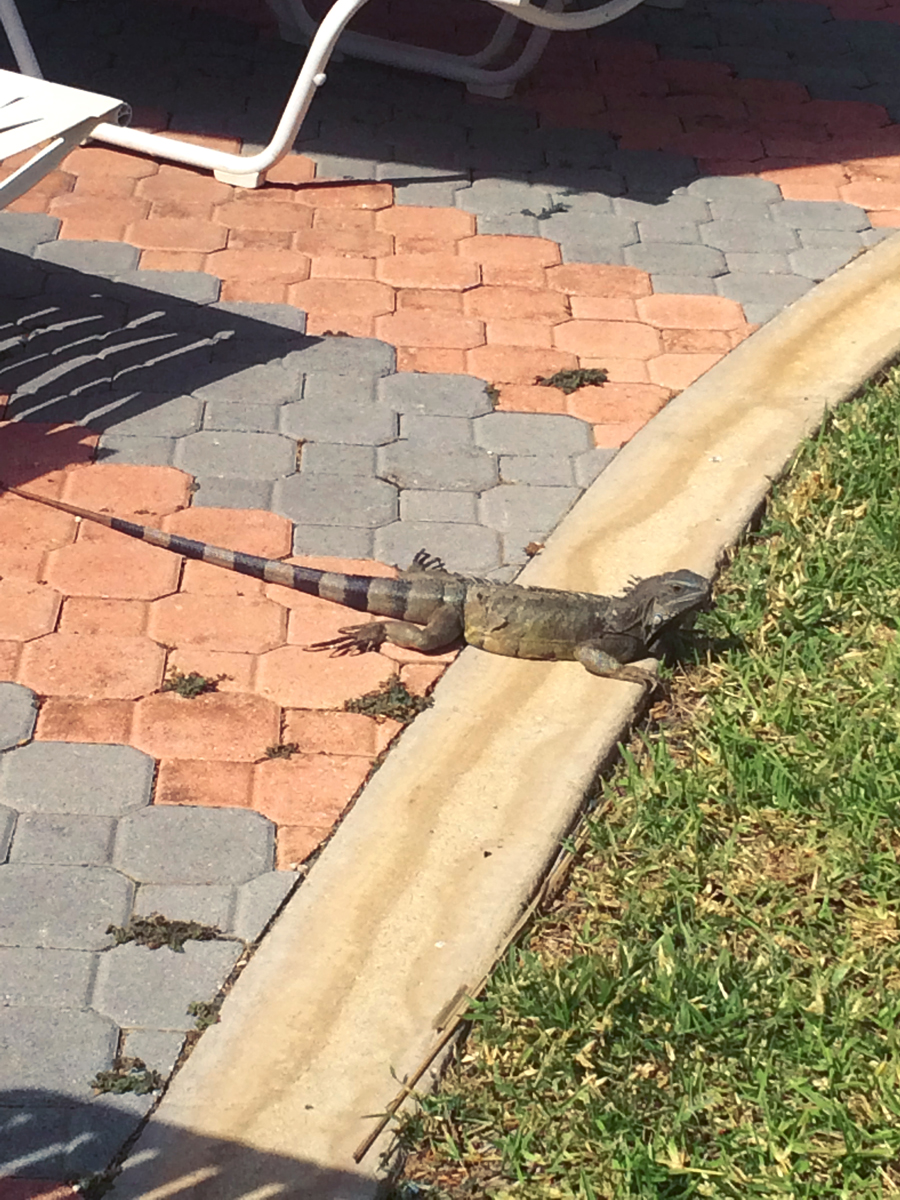 One of the delacies of Aruba, the Iguana