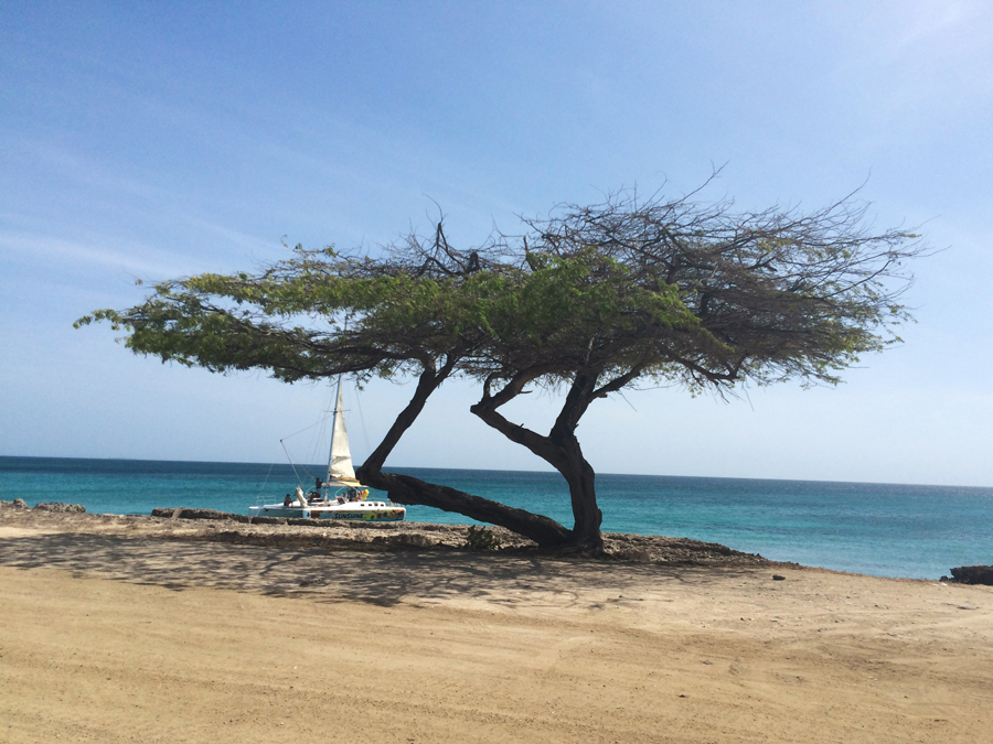 The trees in Aruba are very flat, much like in the Lion Kin