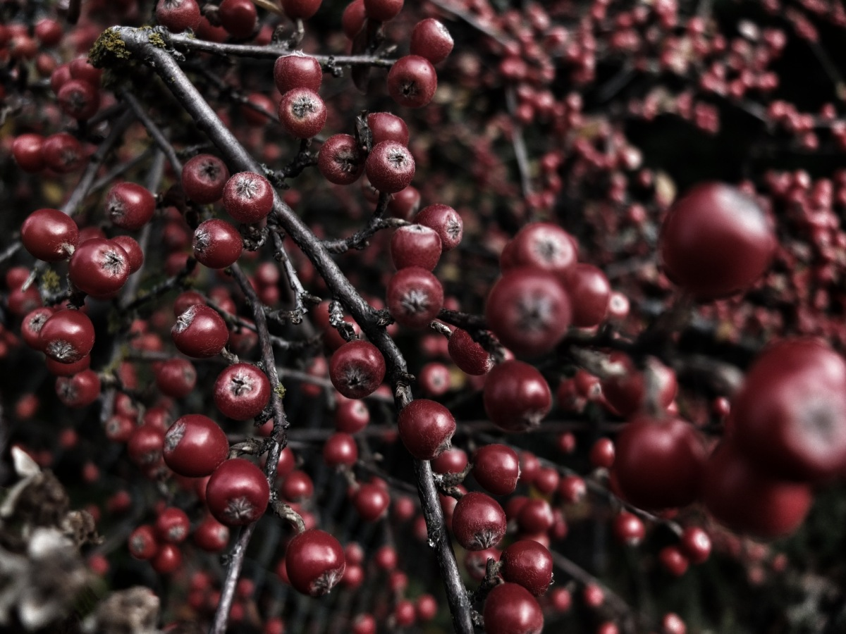 2011-12-20 at 12-04-39 winter berries branch bare.jpeg