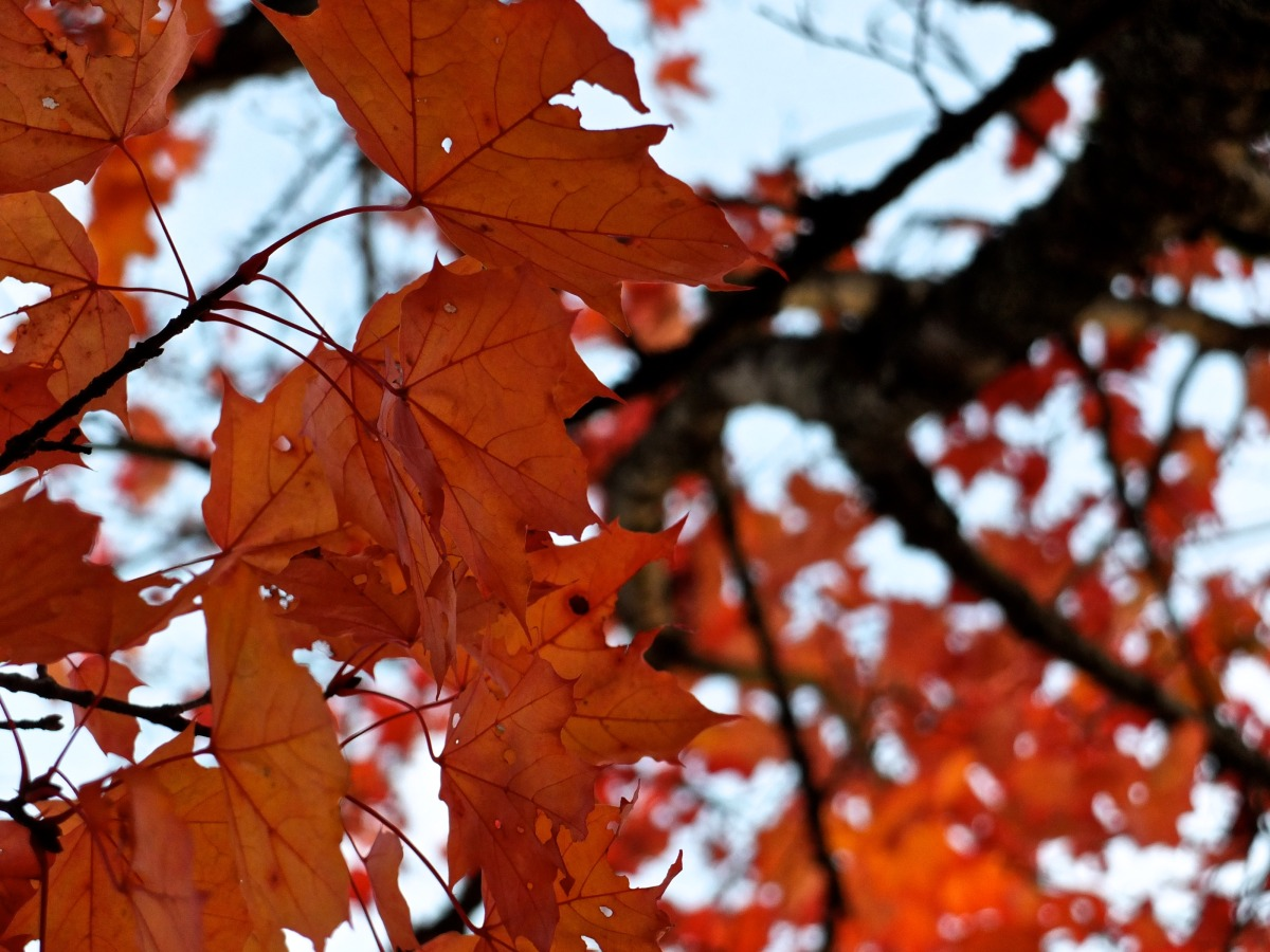 2012-10-20 at 08-06-08 autumn branch fall leaf leaves nature tree.jpg