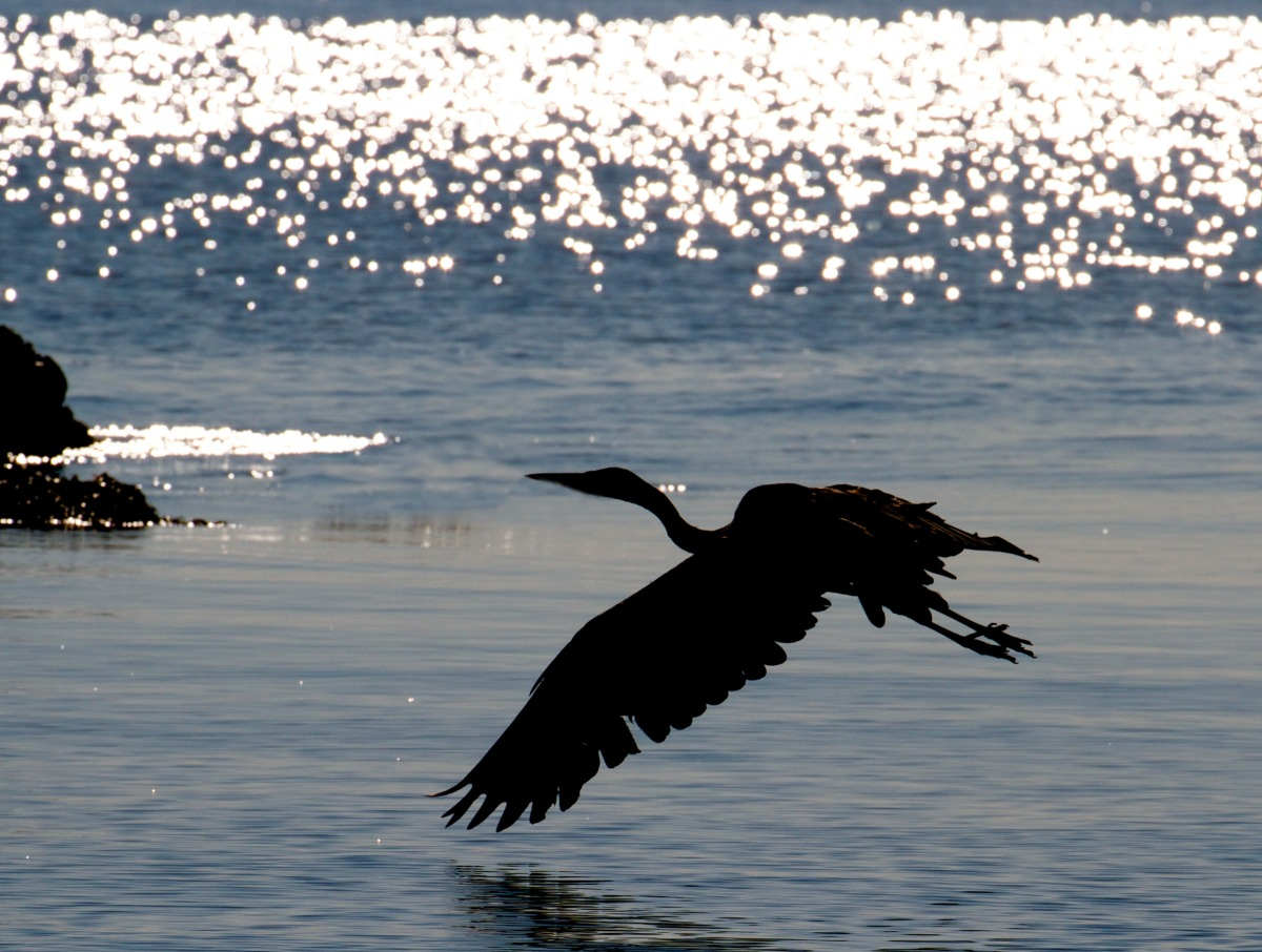 2012-08-17 at 07-51-58 flight, great blue heron, nanaimo, ocean, shine, silhouette, sparkle.jpg