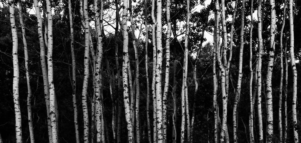 2009-08-01 at 18-39-17 nature trees birch poplar prairie trunk narrow.jpg