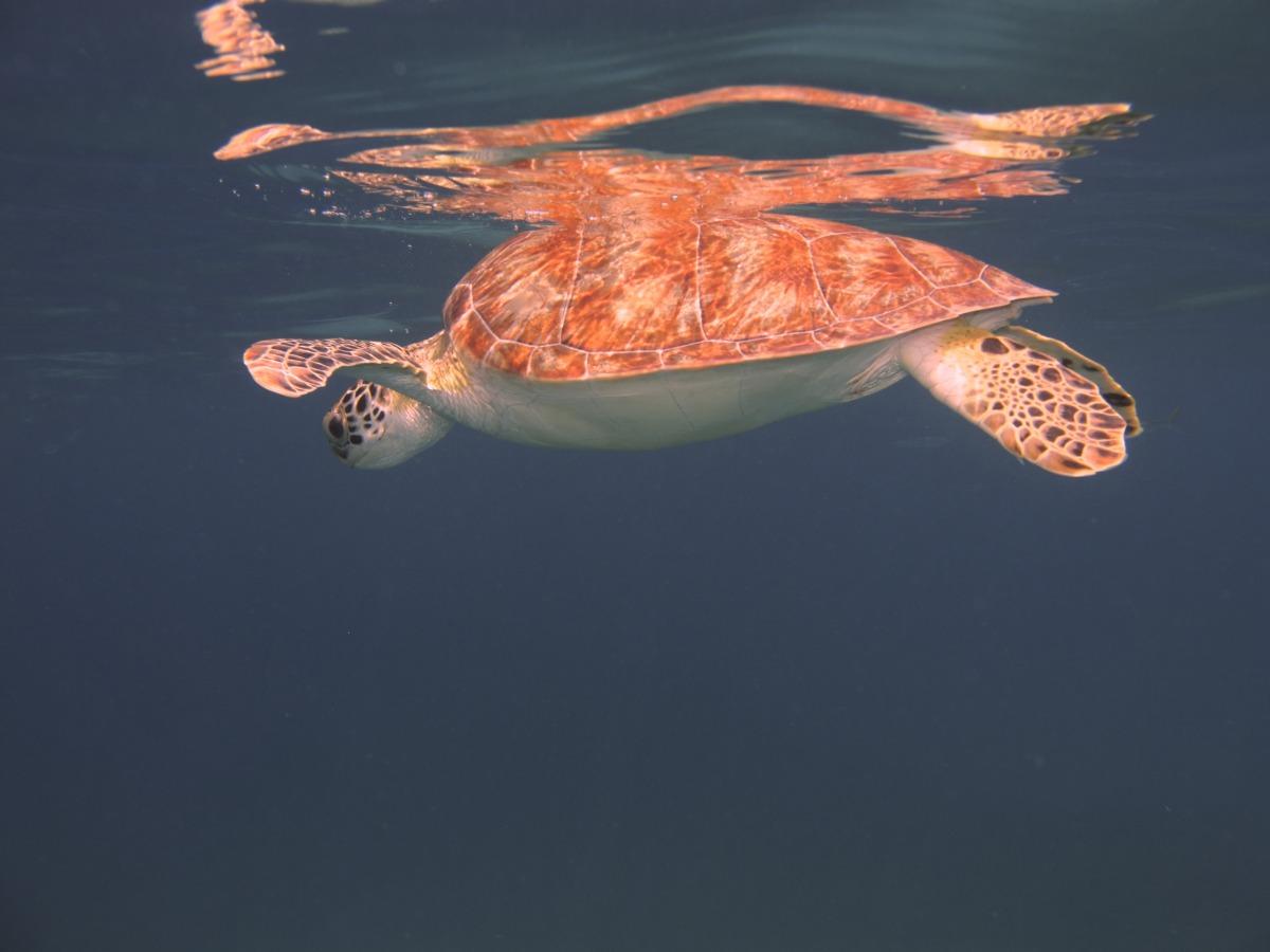 2009-11-05 at 13-23-43 animal, carribbean, cruise, ocean, orange, shell, tortoise, turtle, underwater.jpg