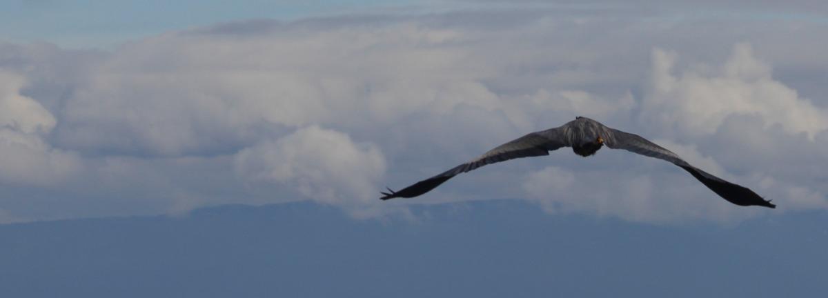 2010-05-24 at 10-42-25 animal birds flight flying great blue heron newcastle island.jpg