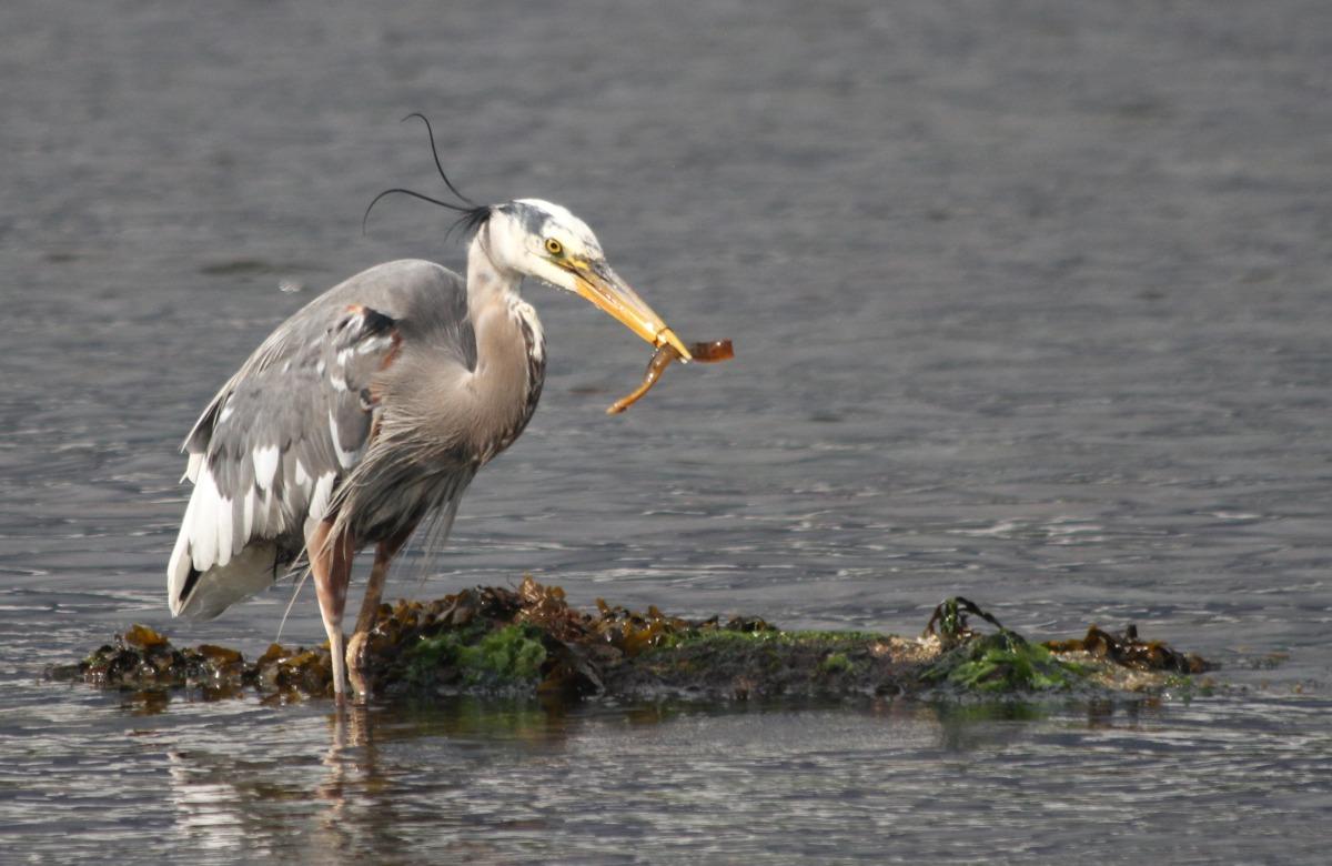 2010-05-24 at 09-25-41 animal, birds, feeding, fish, great blue heron, newcastle island, ocean.jpg
