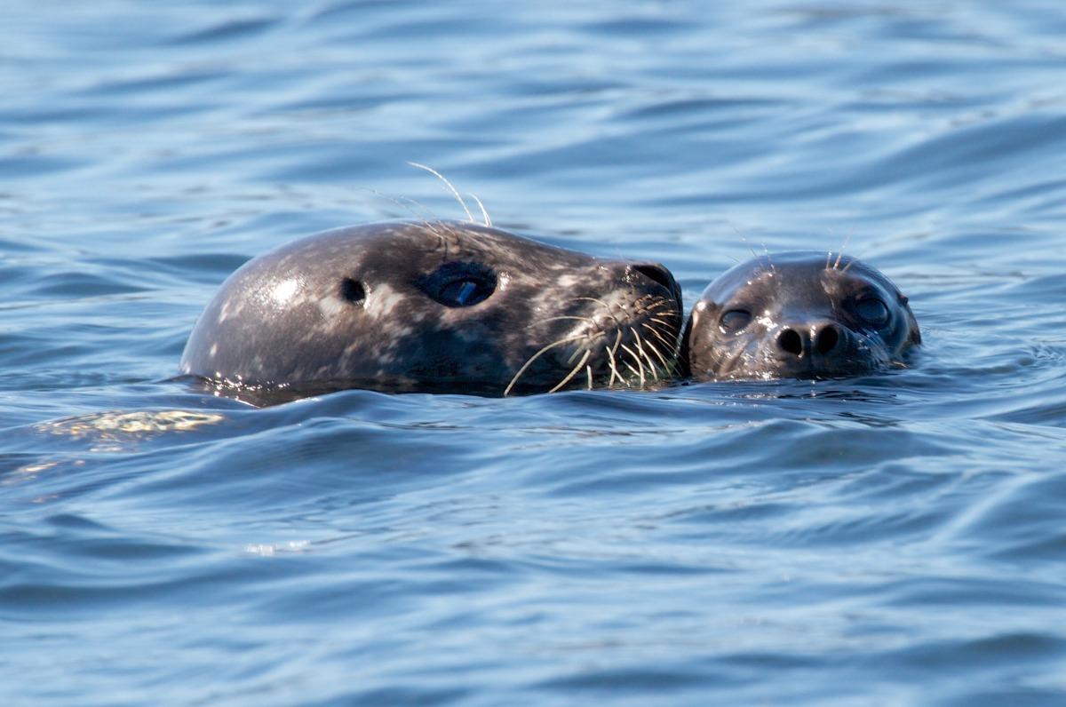 2012-08-16 at 10-32-53 animal, child, departure bay, mammmal, mother, ocean, pup, seal.jpg