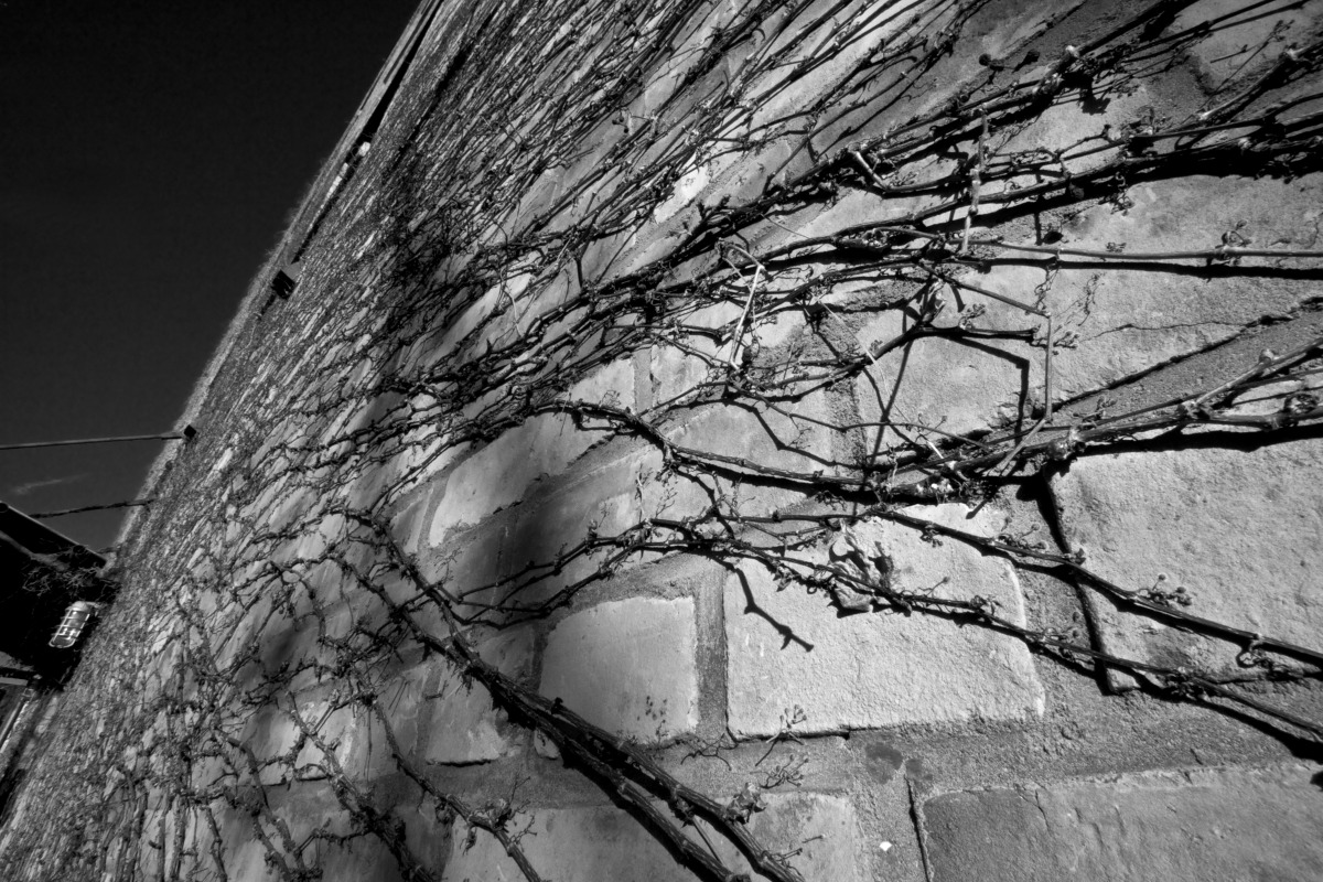 2012-02-04 at 15-07-42 architecture, bricks, ivy, looking up, sky, urban.jpg