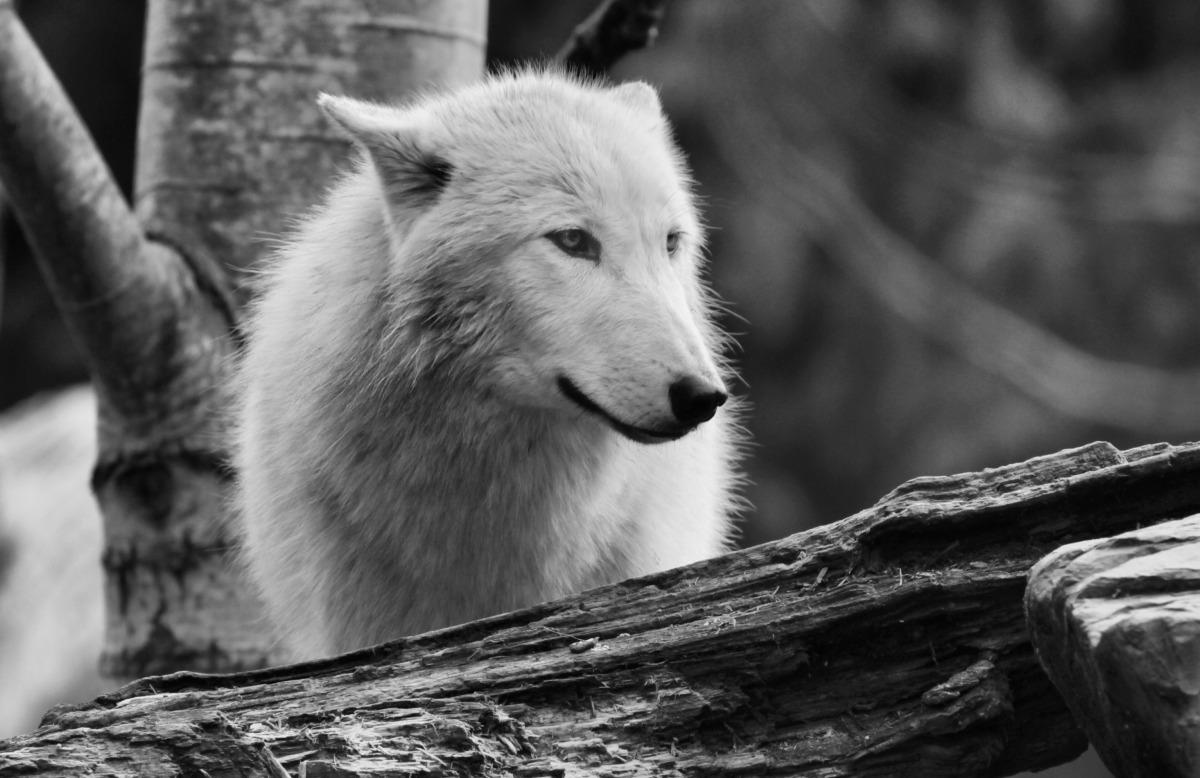 2012-03-22 at 10-36-31 wolf, wild, eyes, white, animal.jpg