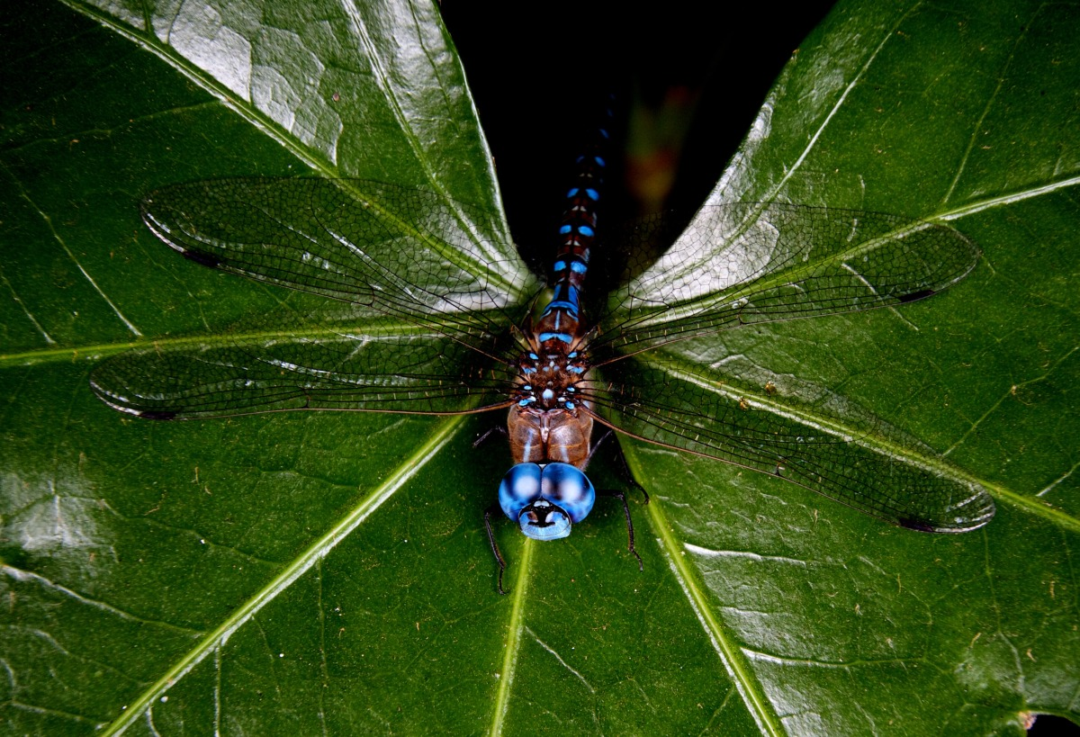 2012-08-13 at 07-49-47 blue, dragonfliy, insect, leaf, macro, wings .jpg