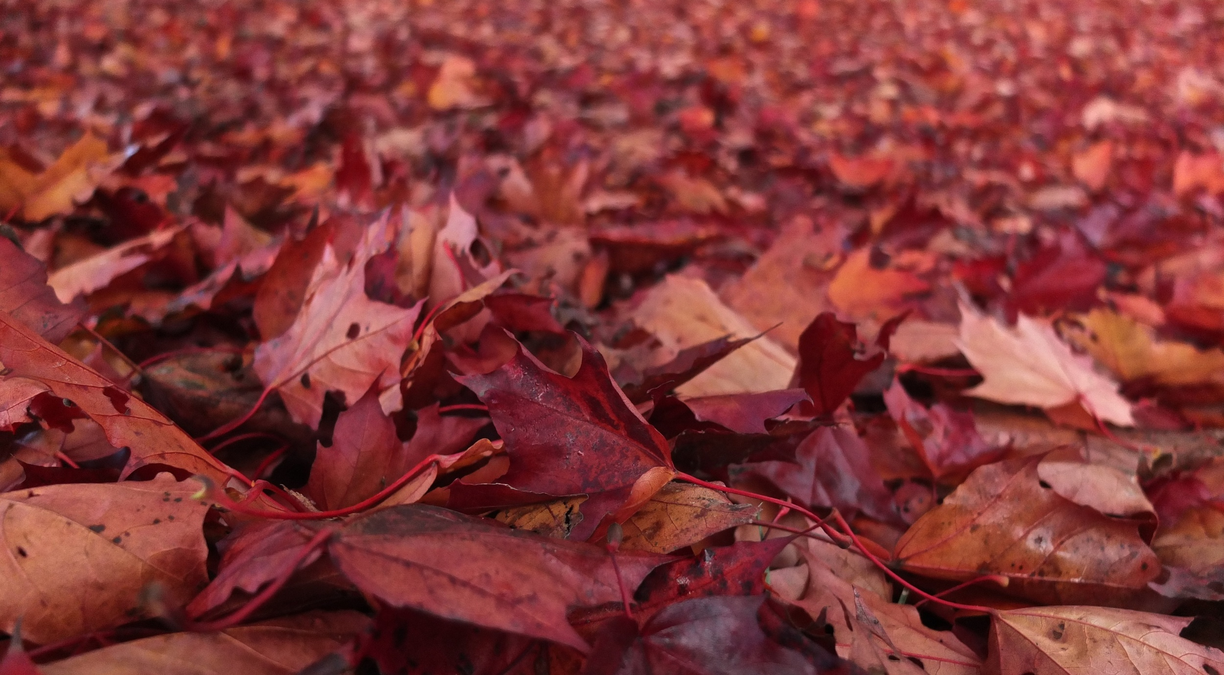 A field of red autumn foliage.  Fuji X10 at 7mm f/2 1/800 ISO 400 −1ev